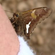 Image of Silver-spotted Skipper