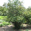 صورة <i>Viburnum setigerum</i> Hance