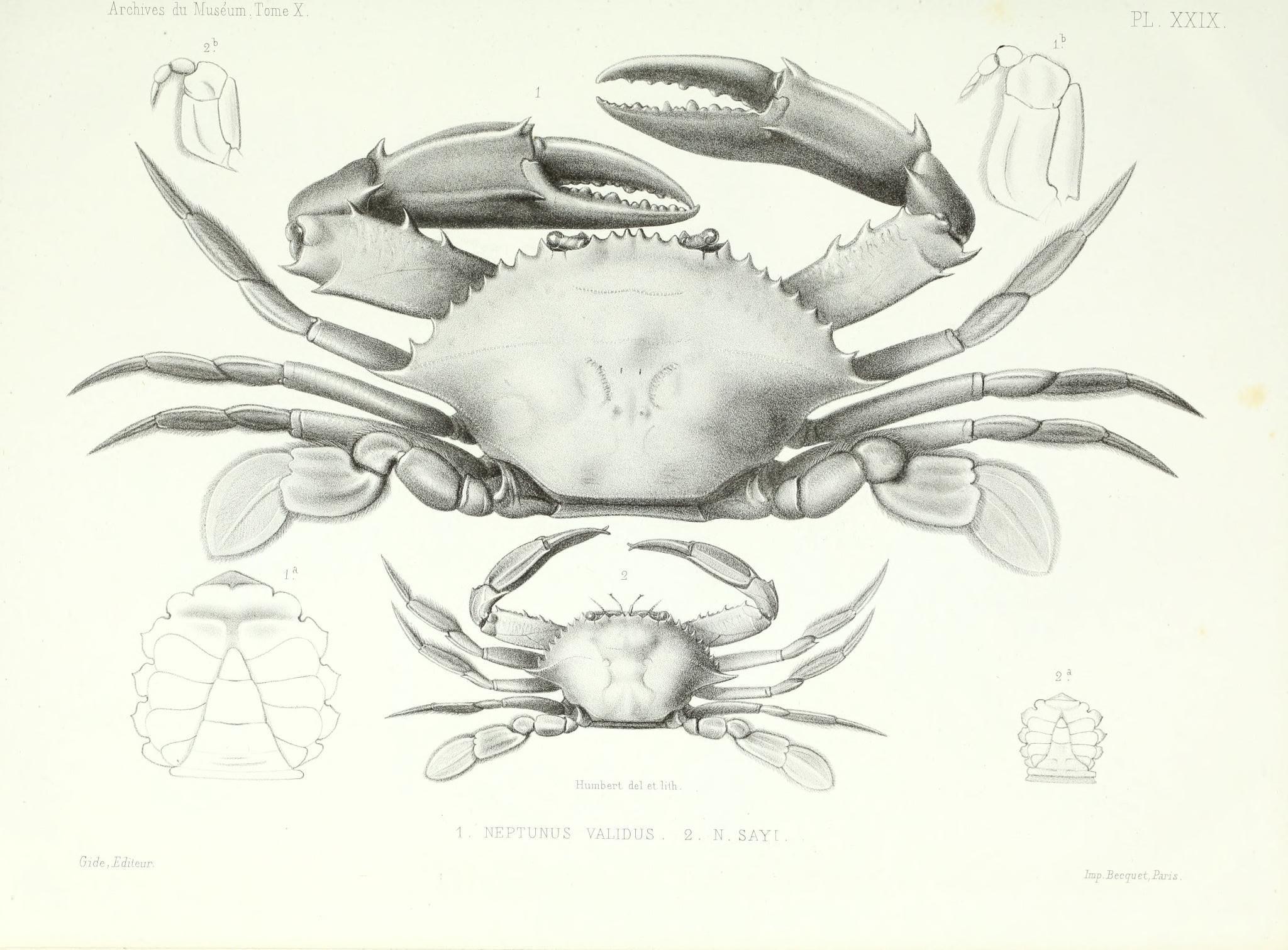 Image of Portunus