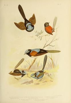 Image of Red-winged Fairy-wren