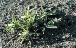 Image of <i>Pediomelum hypogaeum</i>