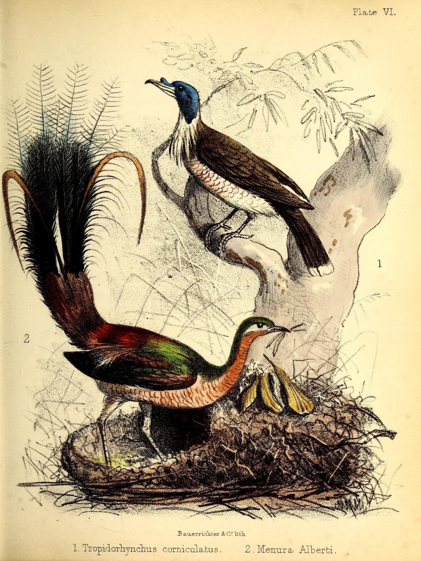 Image of Albert's lyrebird