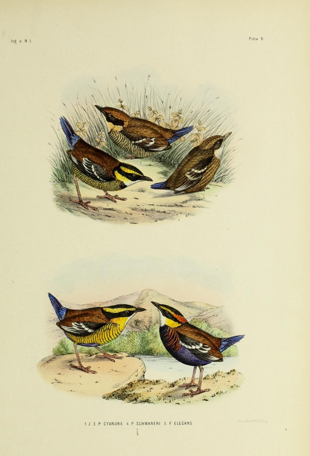 Image of Bornean Banded Pitta