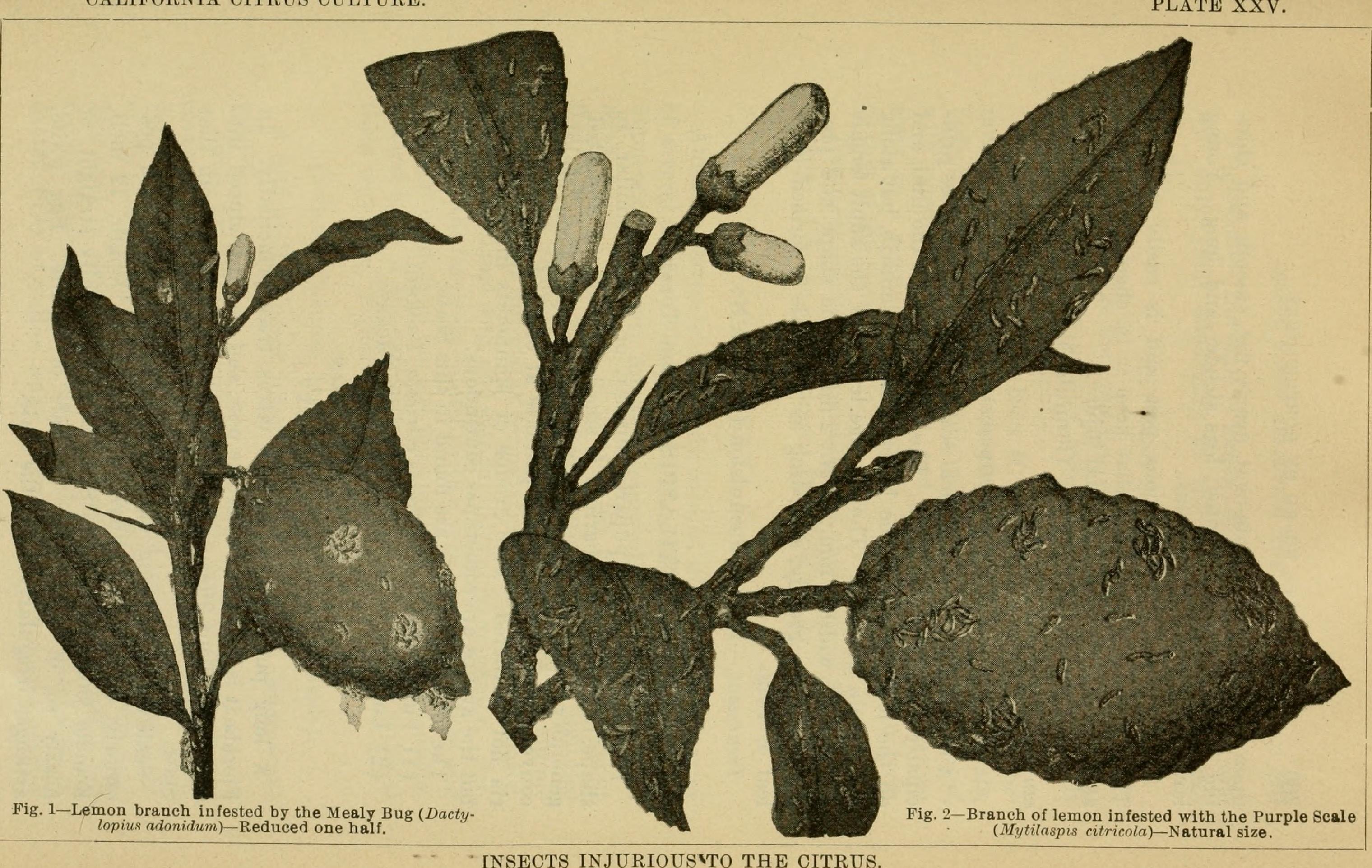 Image of citrus mussel scale