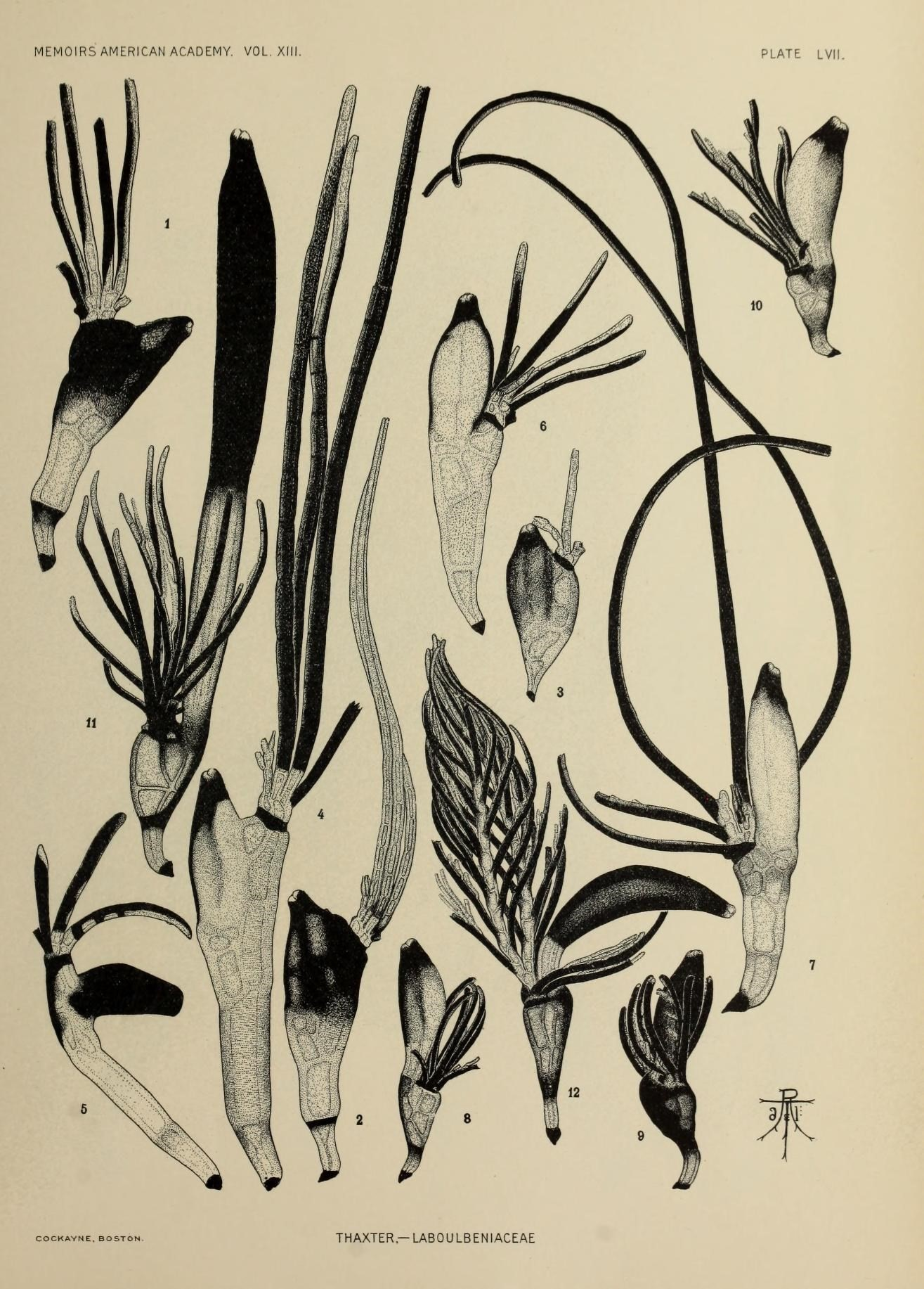 Image of Laboulbeniaceae