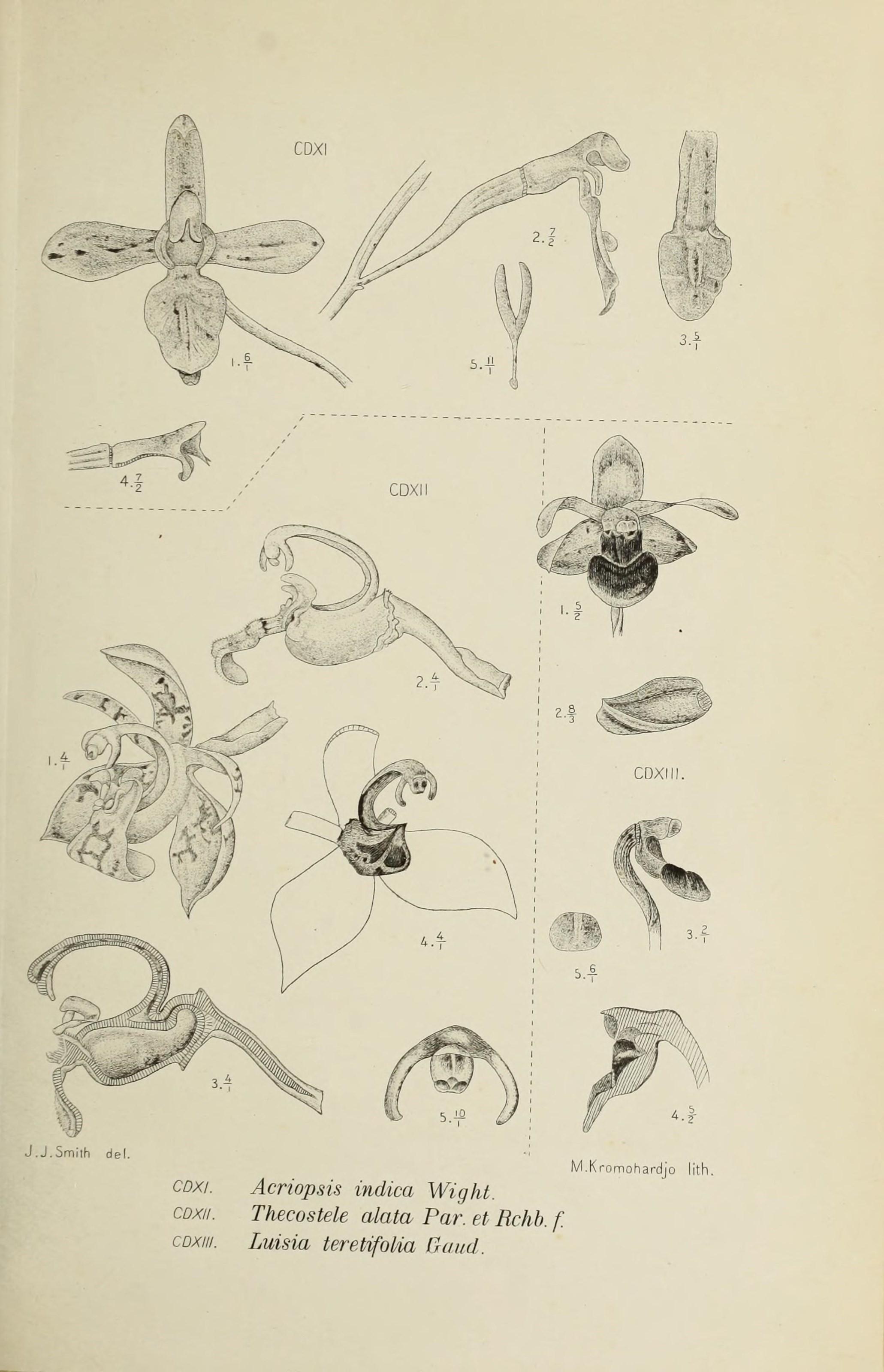 Image of <i>Acriopsis indica</i> C. Wright