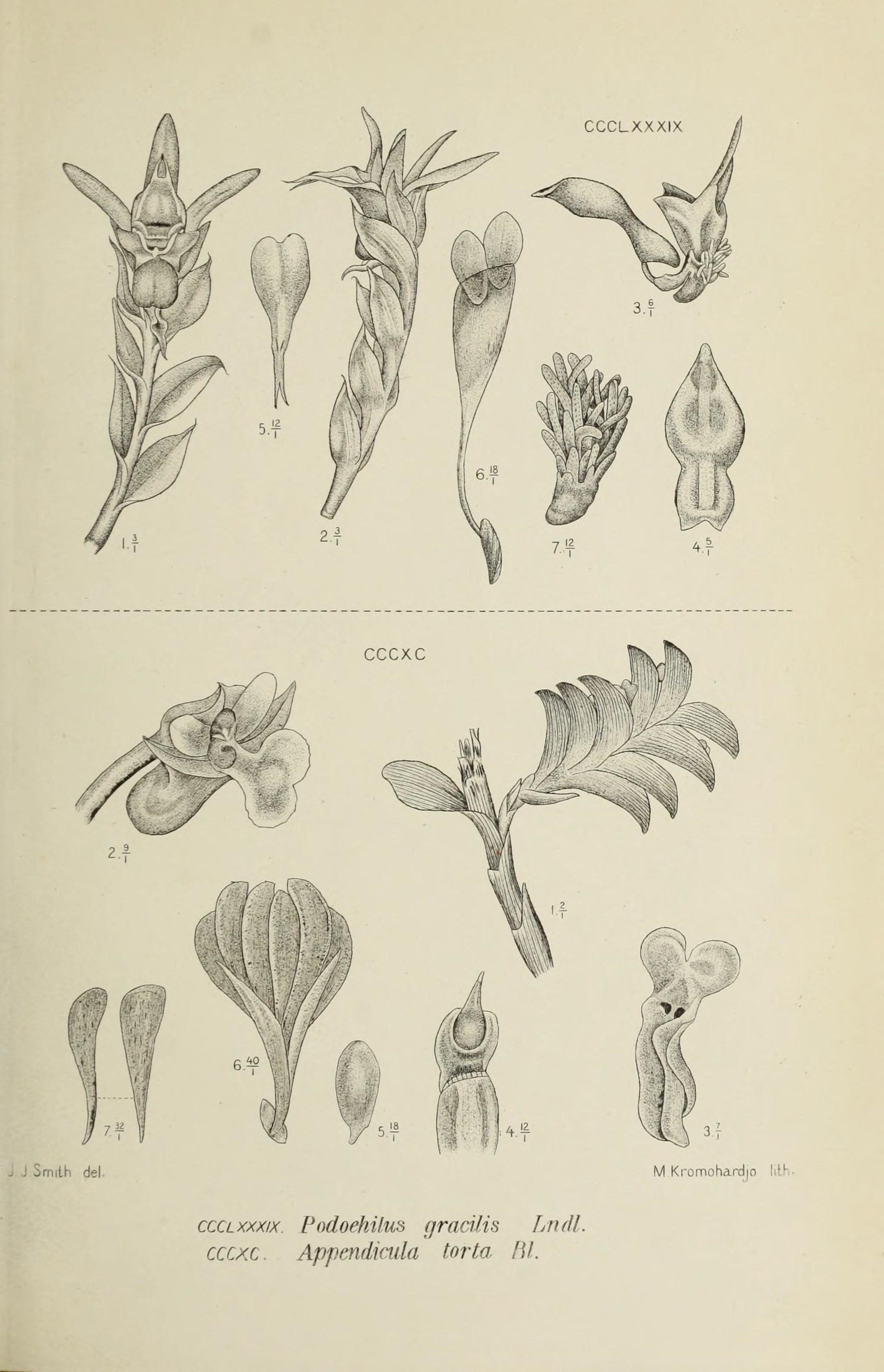 Image of Podochilus