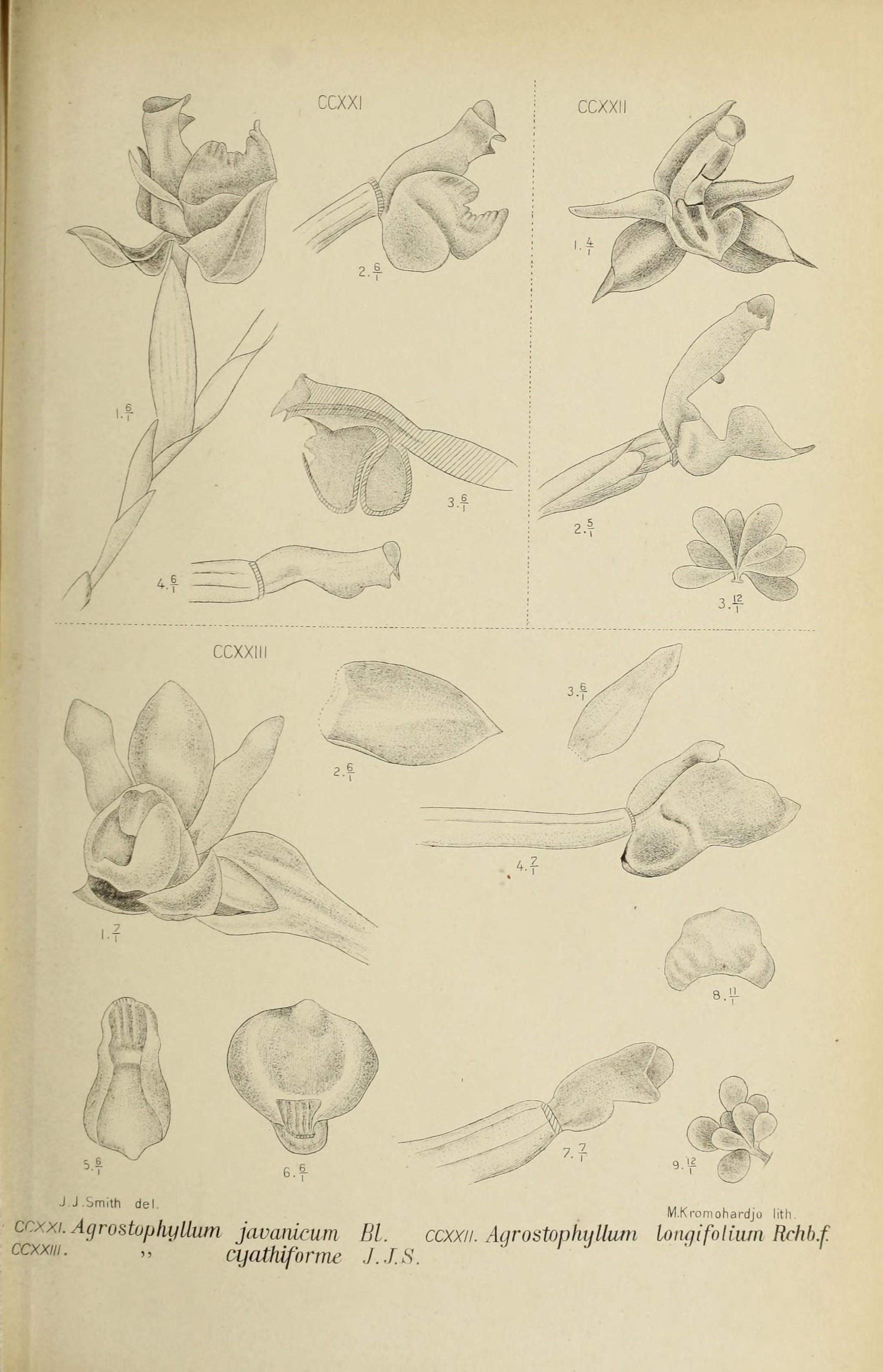 Image of Agrostophyllum