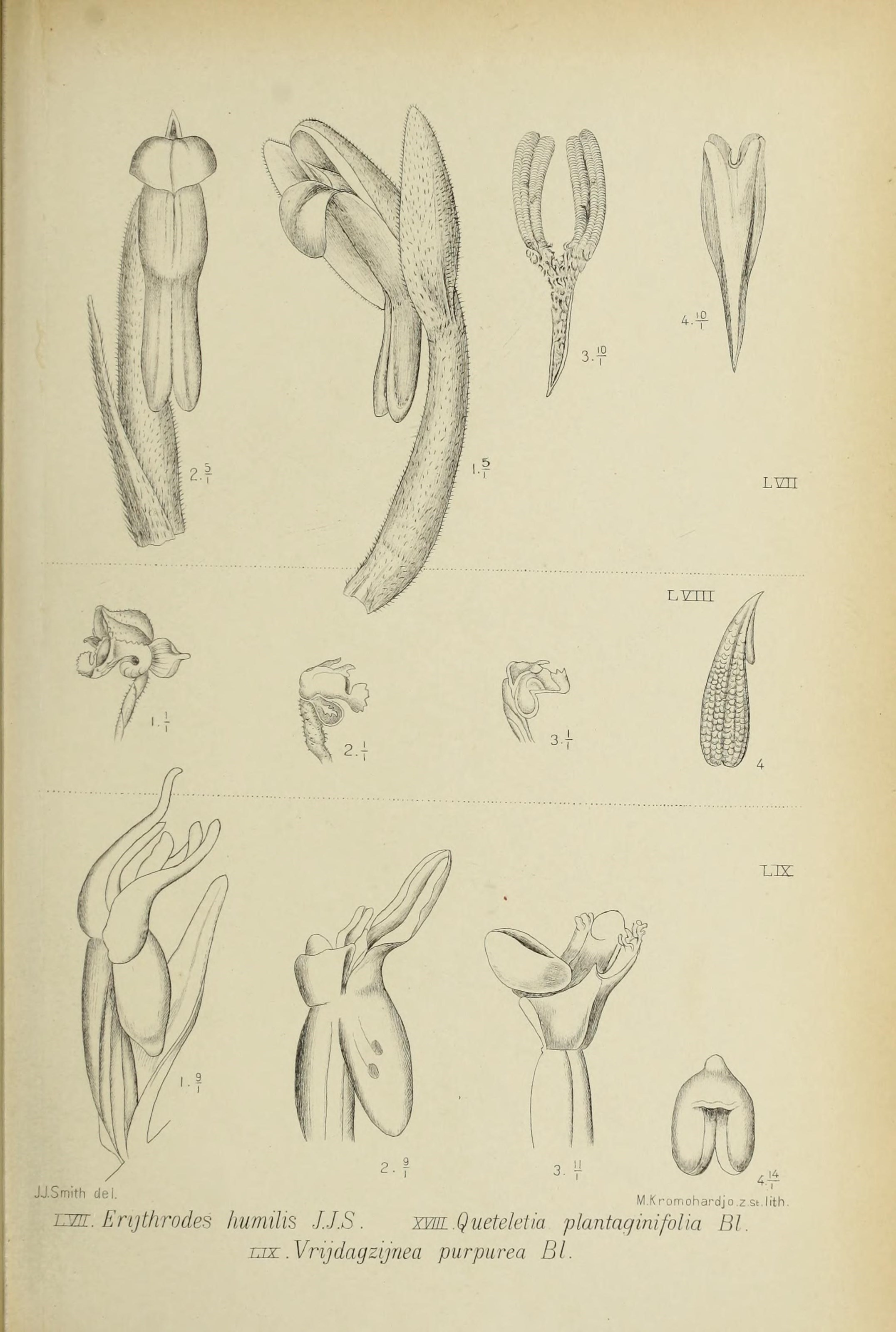 Image of Tonsil orchids