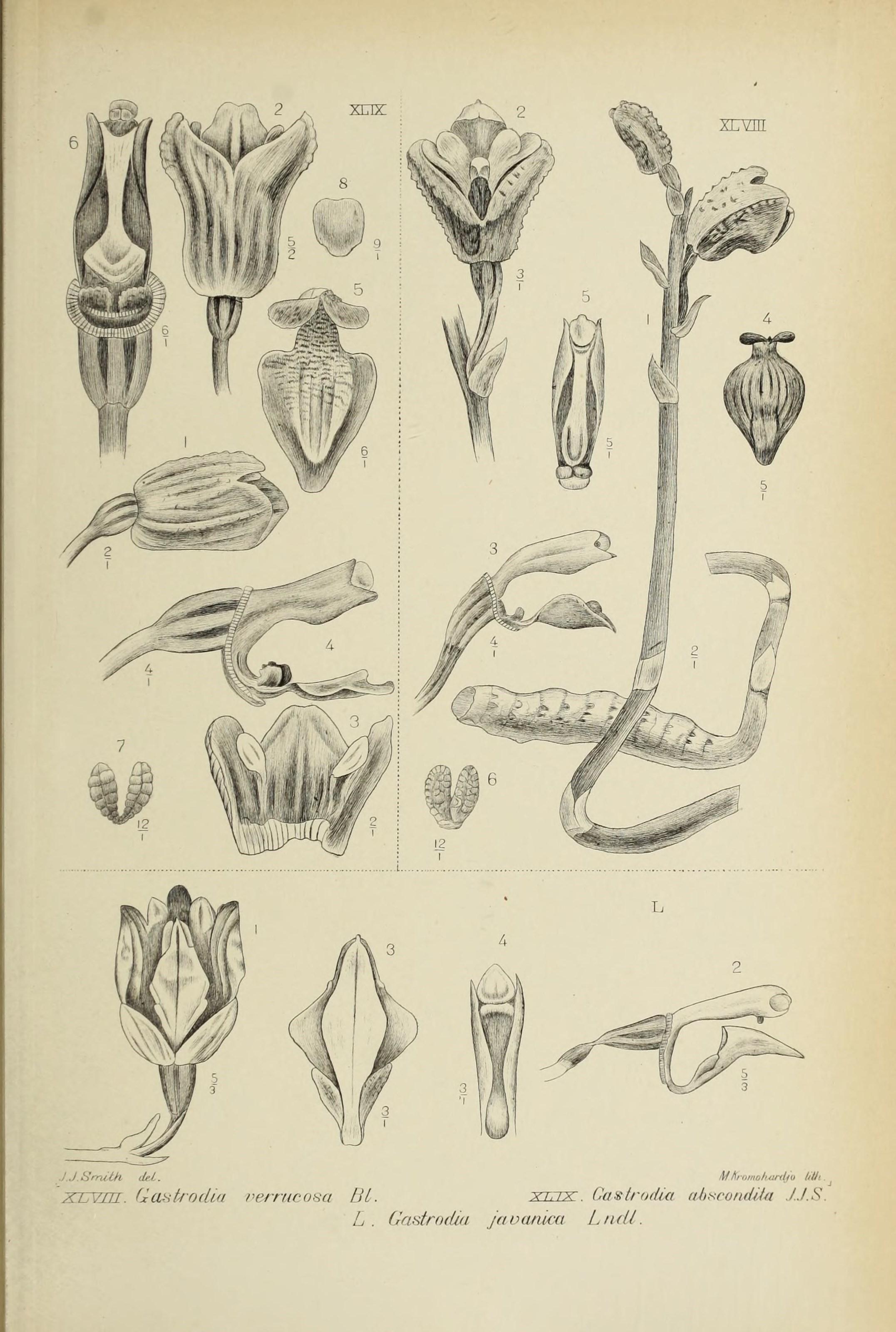 Image of <i>Gastrodia javanica</i> (Blume) Lindl.