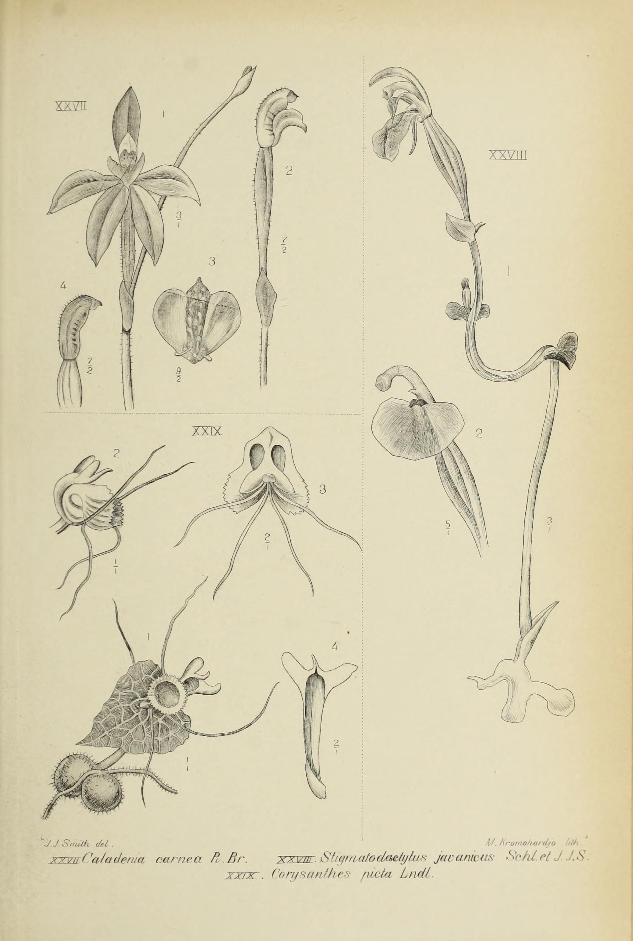 Image of Stigmatodactylus