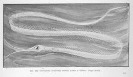Image of Atlantic Snipe Eel