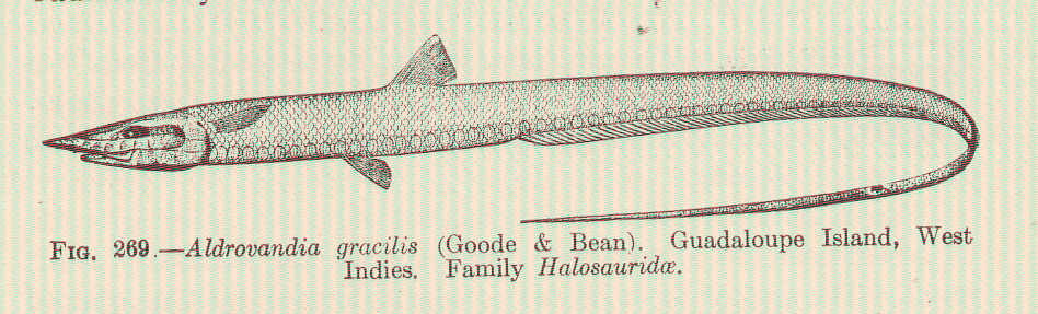 Image of <i>Aldrovandia gracilis</i> Goode & Bean 1896