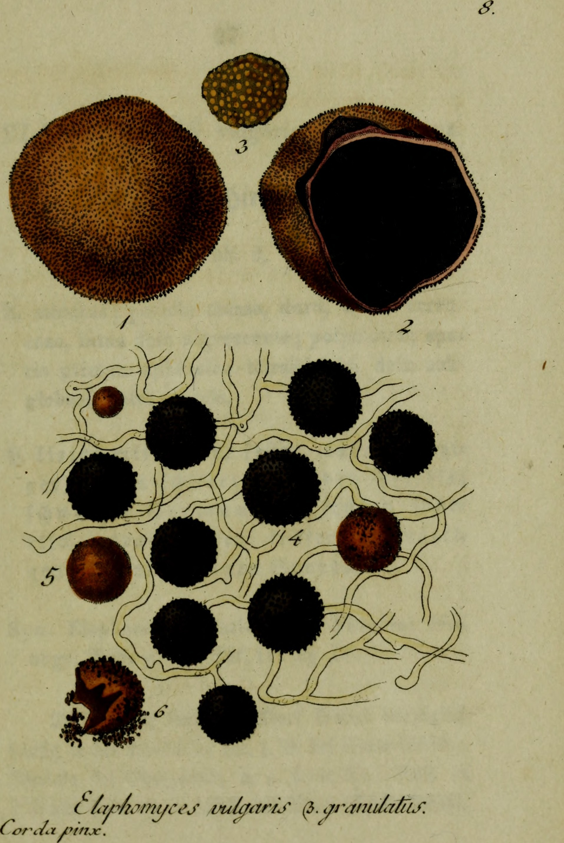 Image of Elaphomyces