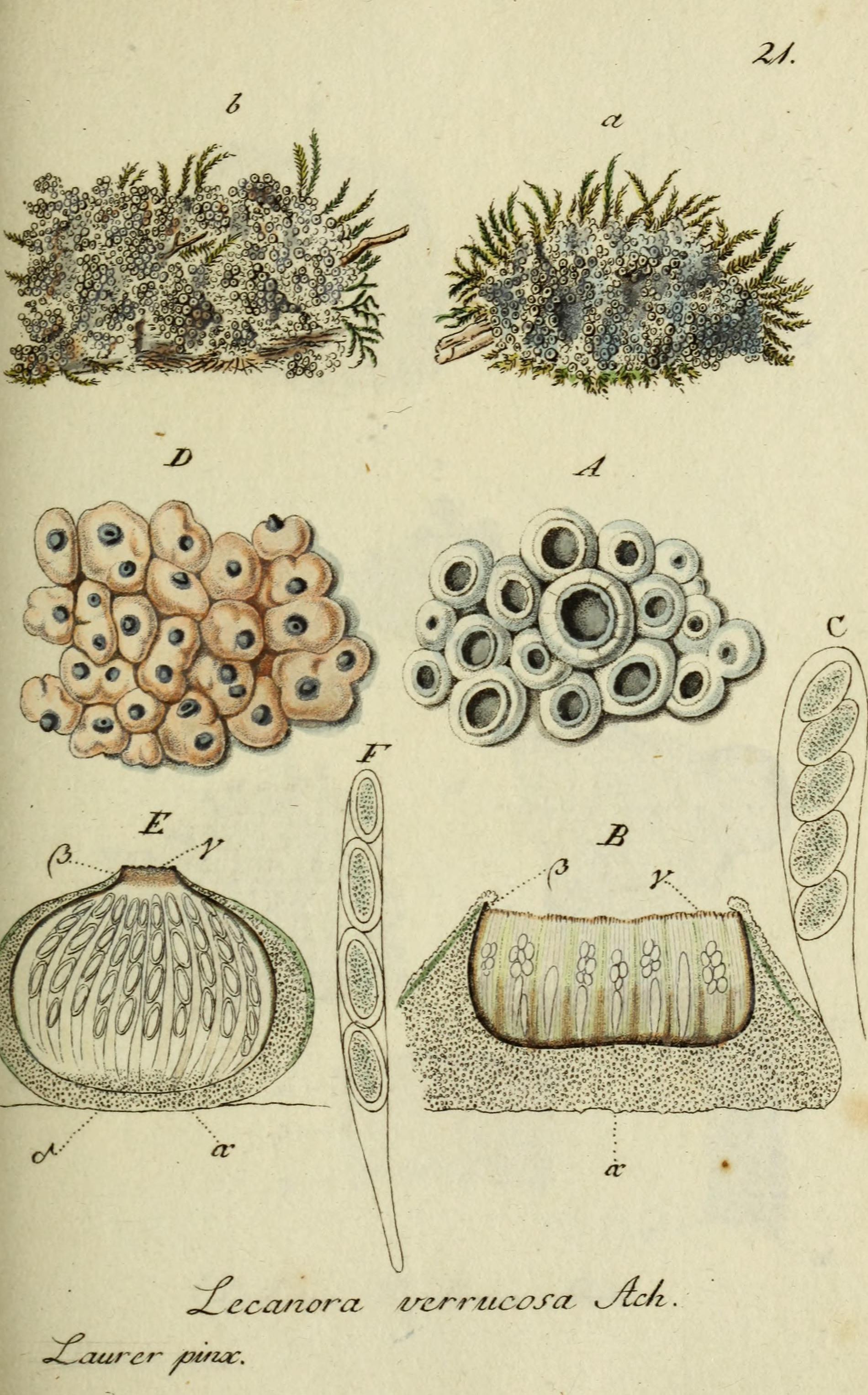 Image of Lecanora