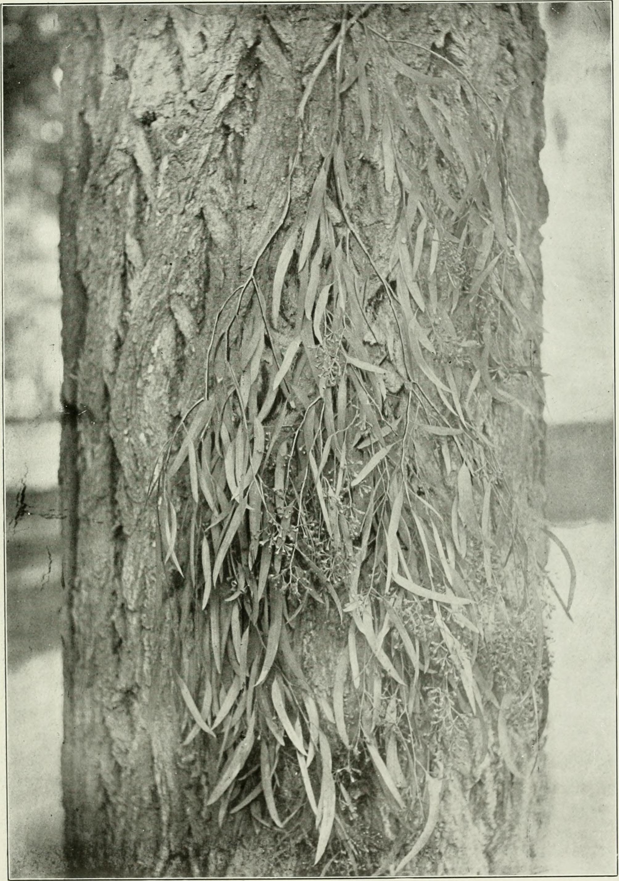Image of narrowleaf red ironbark