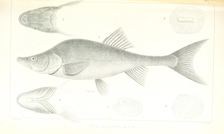 Image of Roundtail chub