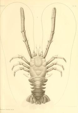 Image of Munidopsis