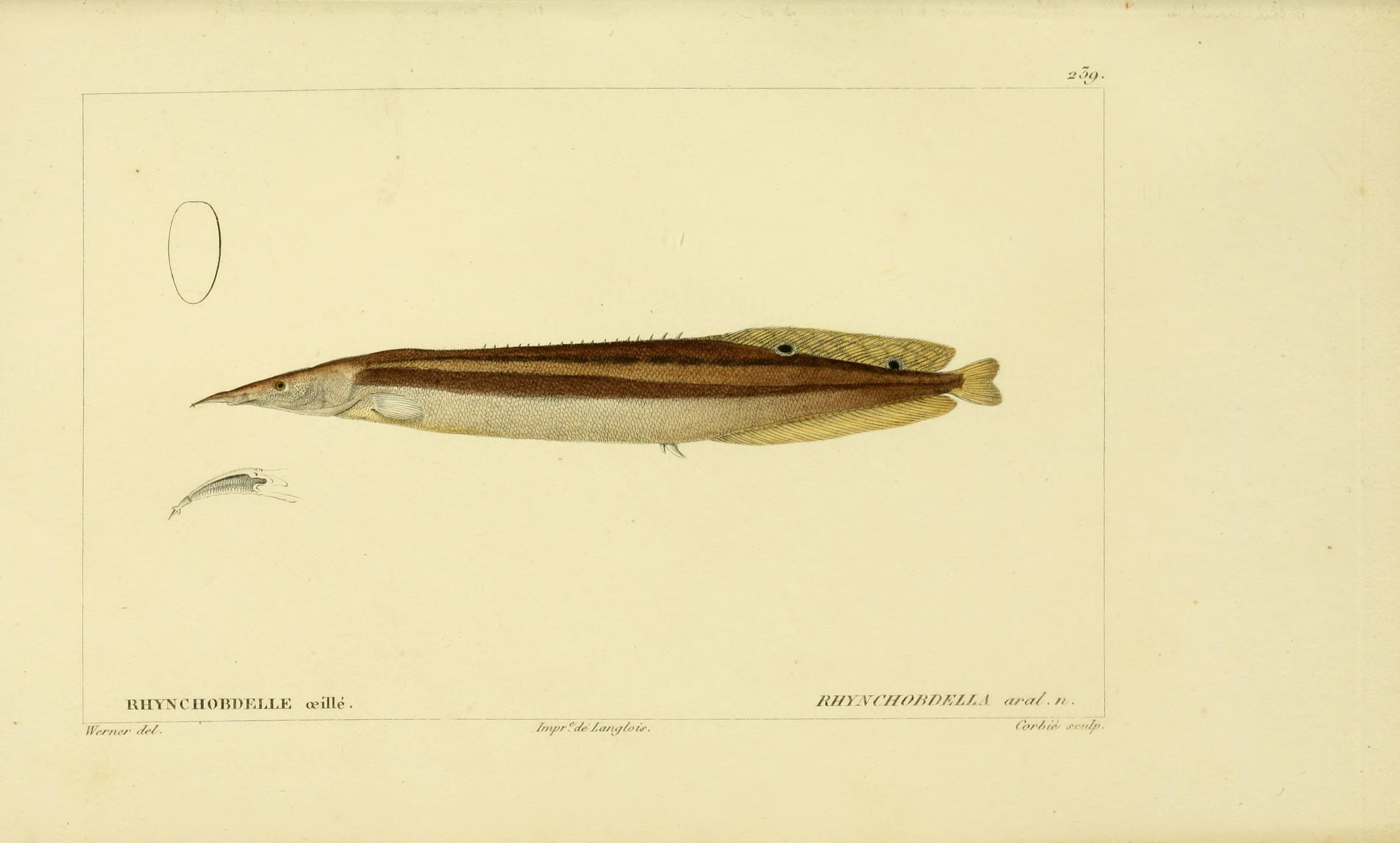 Image of Spiny Eel