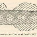 Image of Sicyopterus