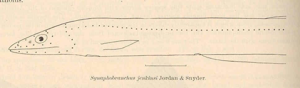 Image of Shortdorsal cutthroat eel