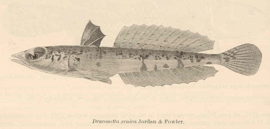 Image of Highfin slope dragonet
