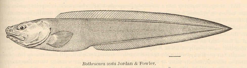 Image of Bothrocara