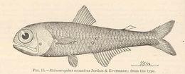 Image of Lantern fish