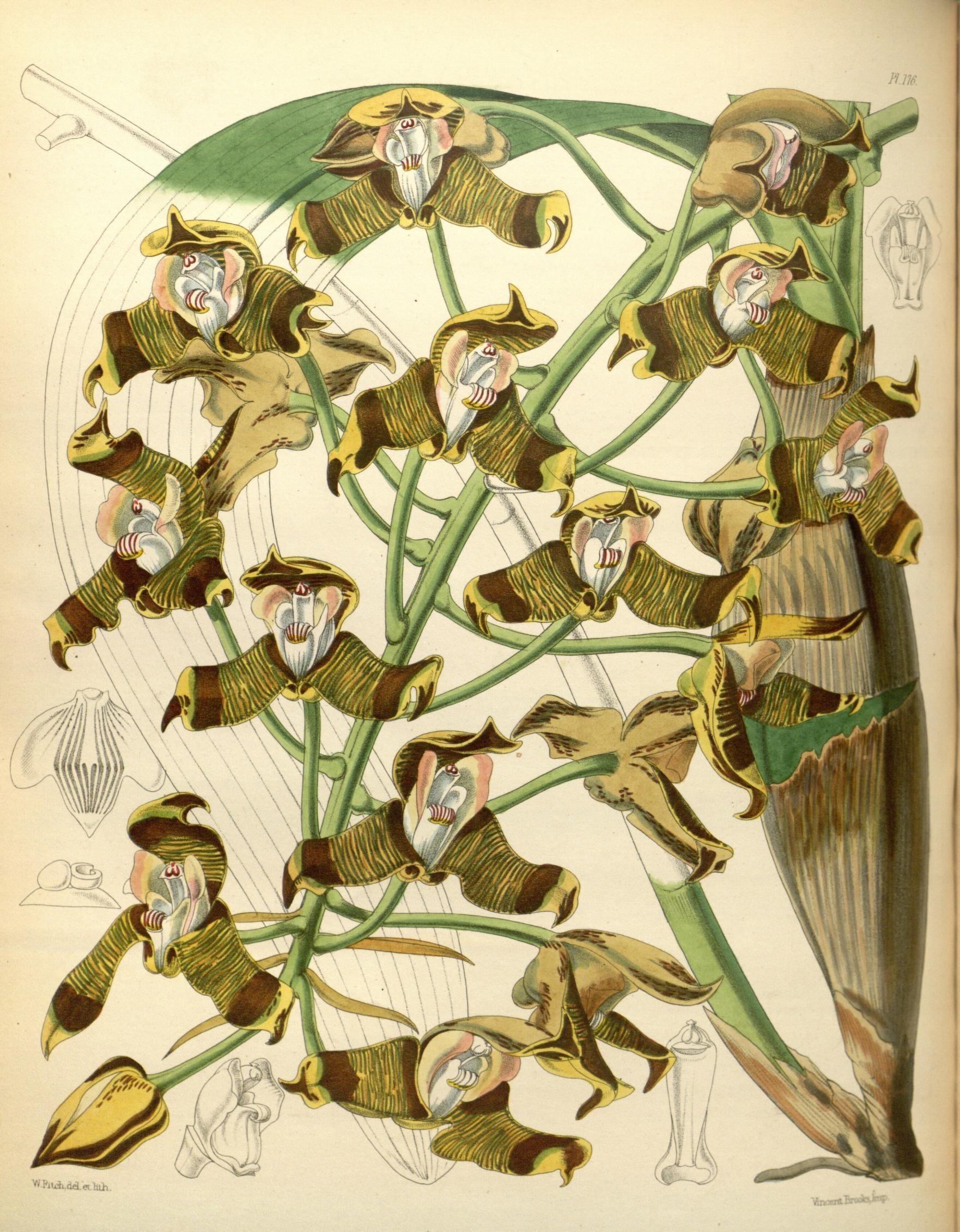 Image of Ellis's Grammangis