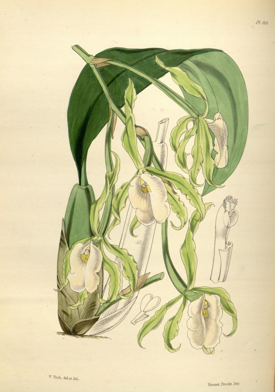 Image of <i>Trichopilia fragrans</i> (Lindl.) Rchb. fil.