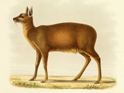 Image of Alpine Musk Deer