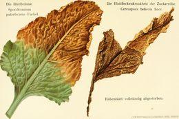 Image of <i>Cercospora beticola</i> Sacc. 1876