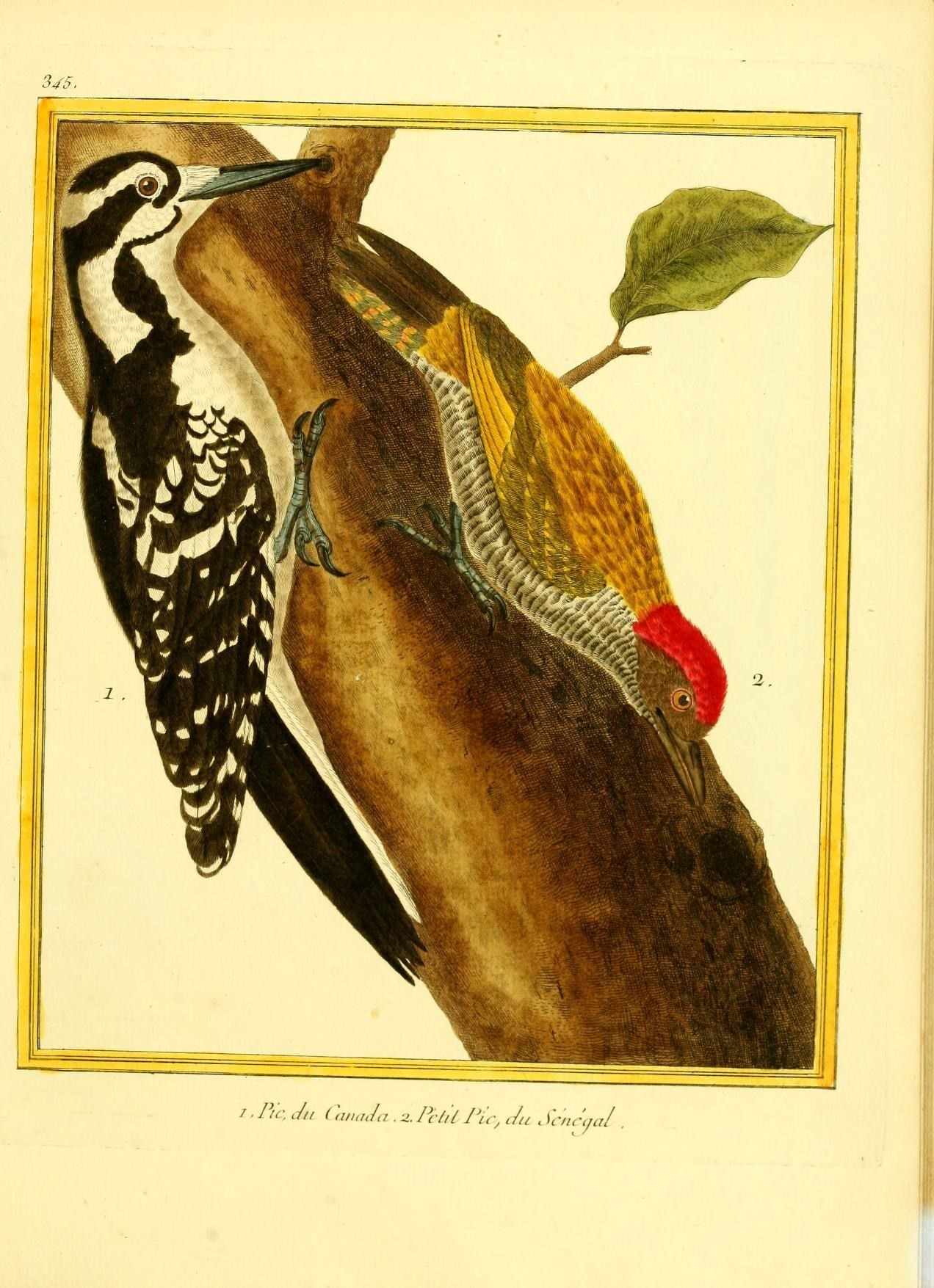 Image of Golden-backed Woodpecker