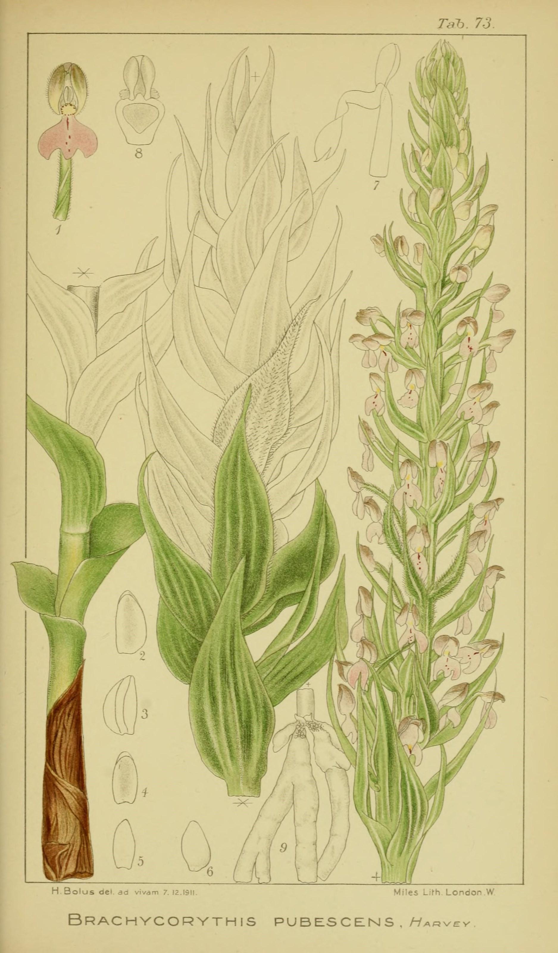 Image of Brachycorythis