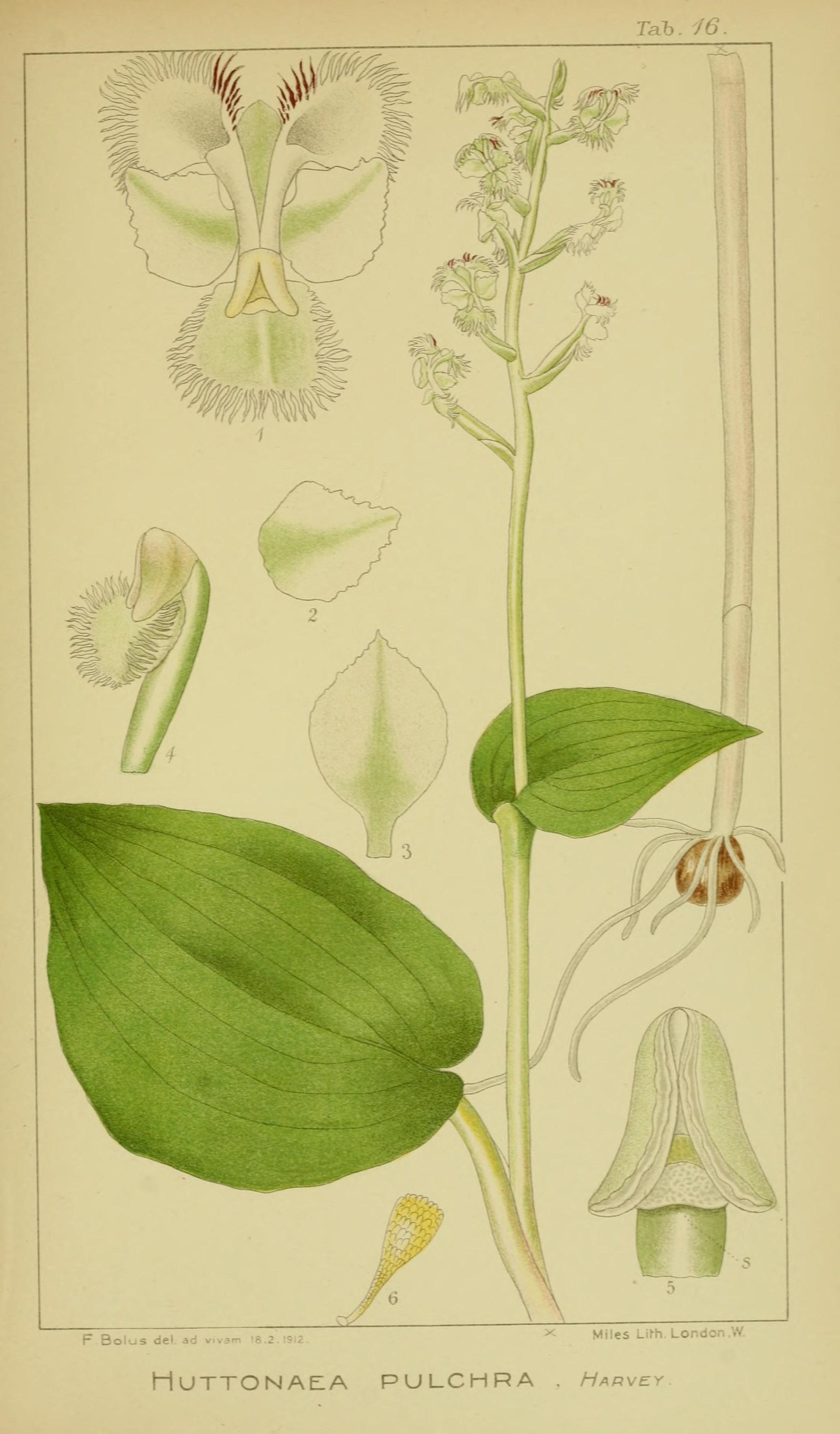 Image of Huttonaea