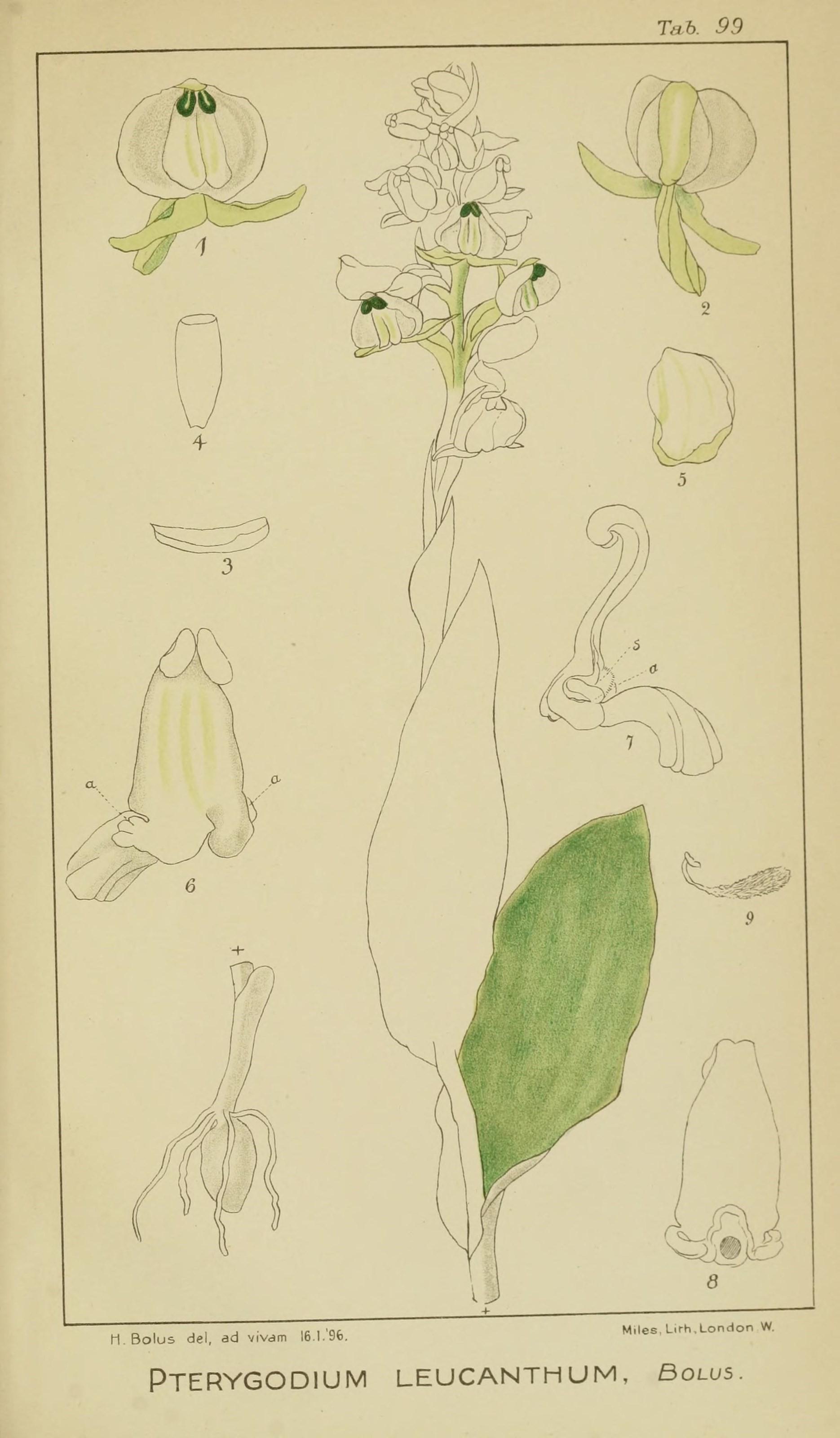 Image of Pterygodium