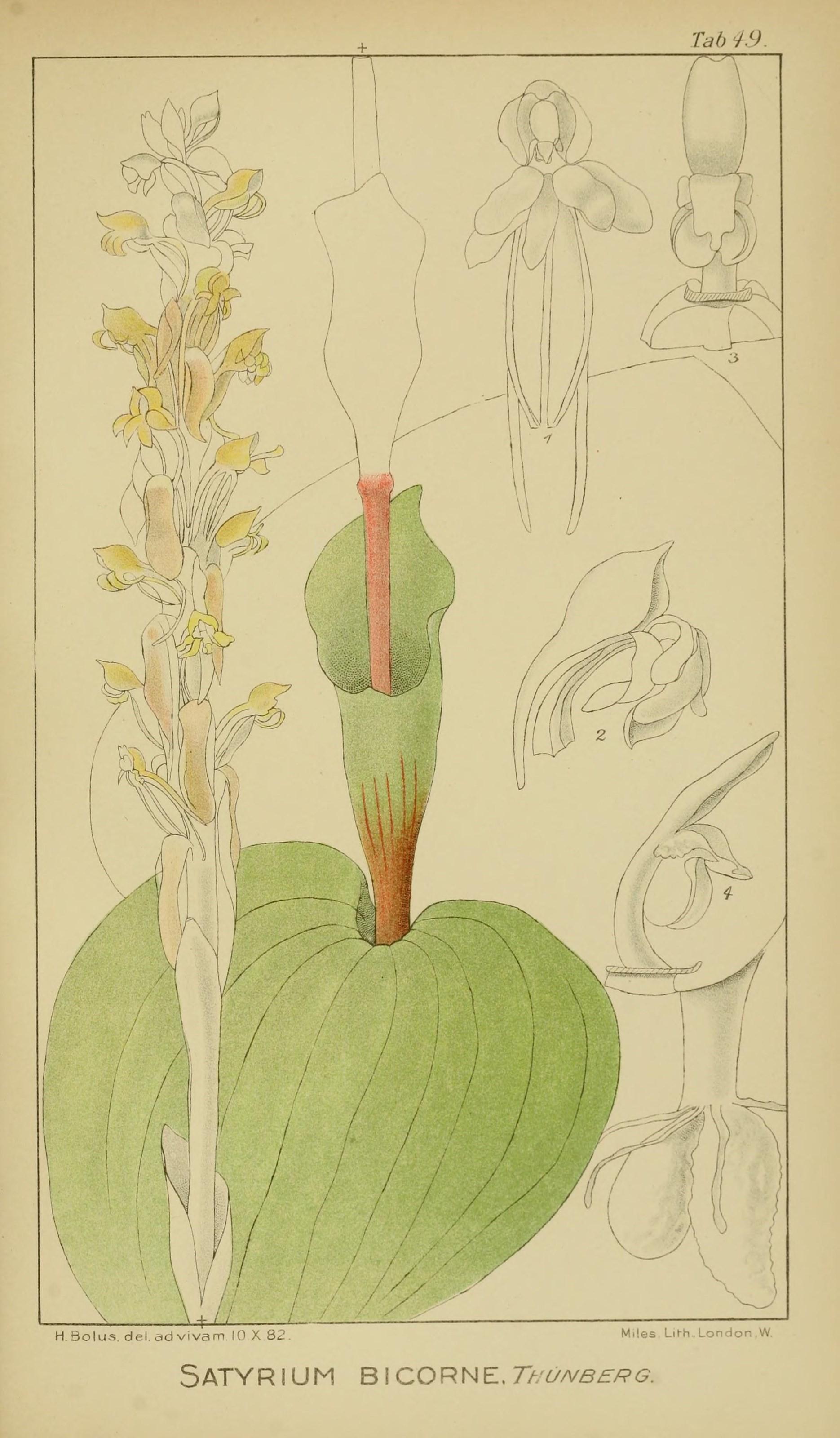 Image of <i>Satyrium bicorne</i> (L.) Thunb.
