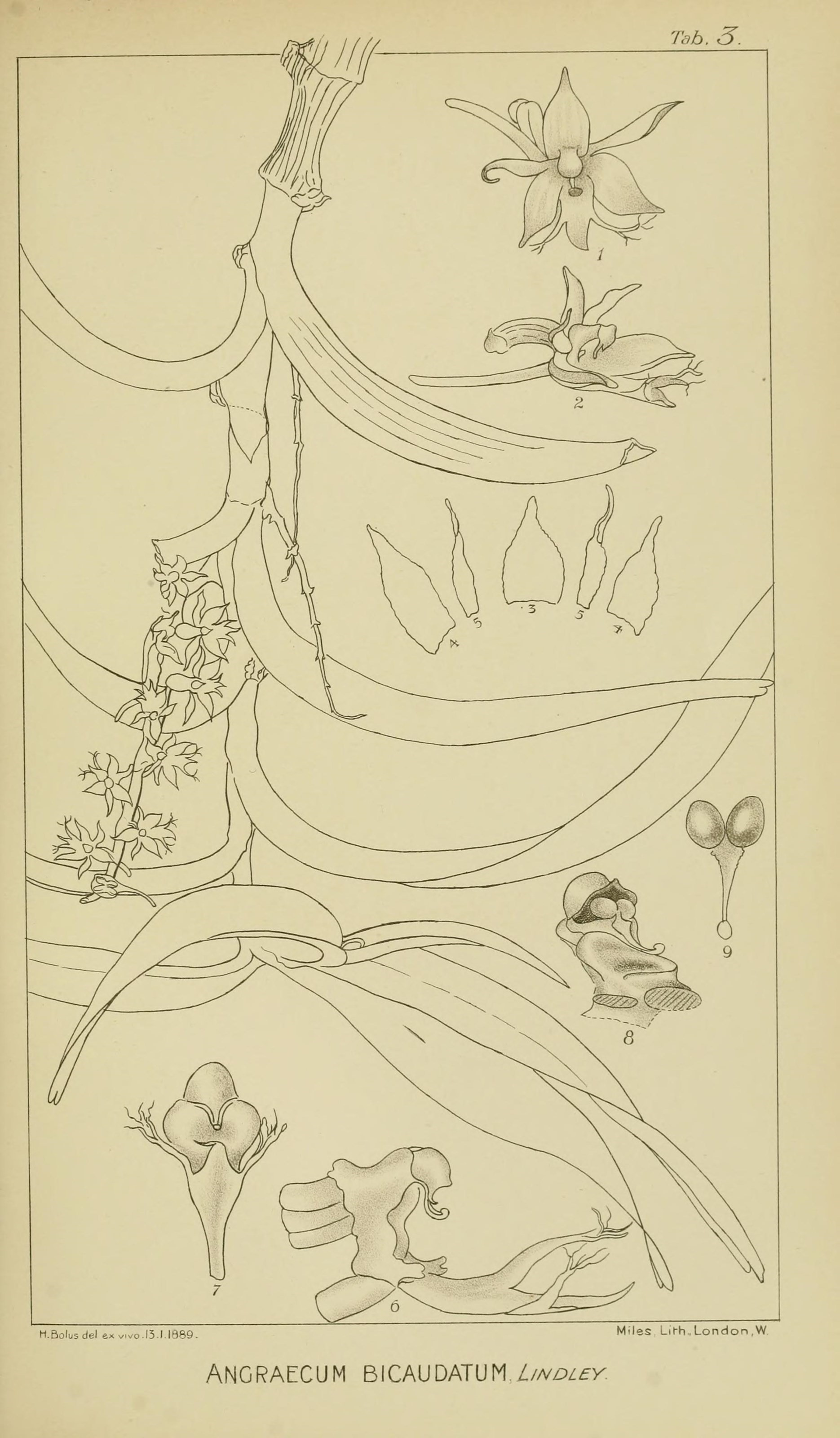 Image of <i>Tridactyle bicaudata</i> (Lindl.) Schltr.