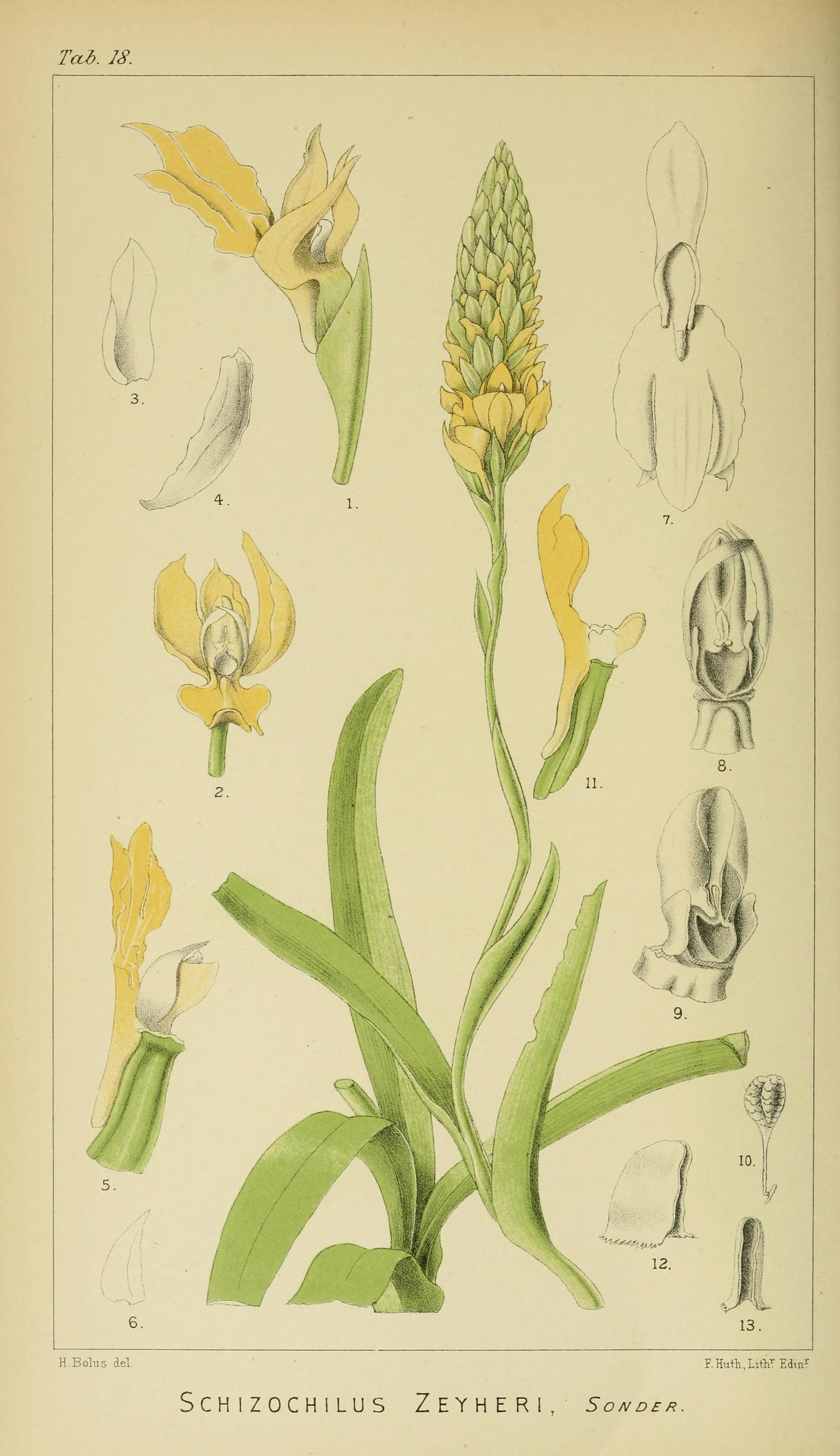 Image of Schizochilus