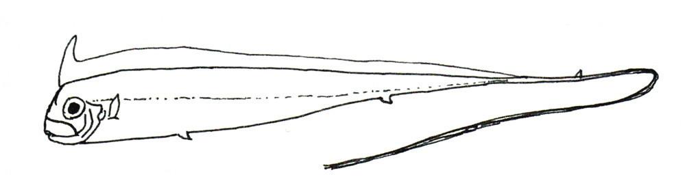 Image of <i>Radiicephalus elongatus</i> Osório 1917