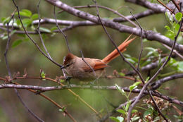 Image of Brown-capped Tit-Spinetail