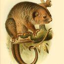 Image of Lowland Ringtail Possum