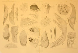 Image of <i>Cranchia scabra</i> Leach 1817