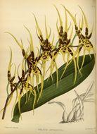 Image of <i>Brassia arcuigera</i> Rchb. fil.