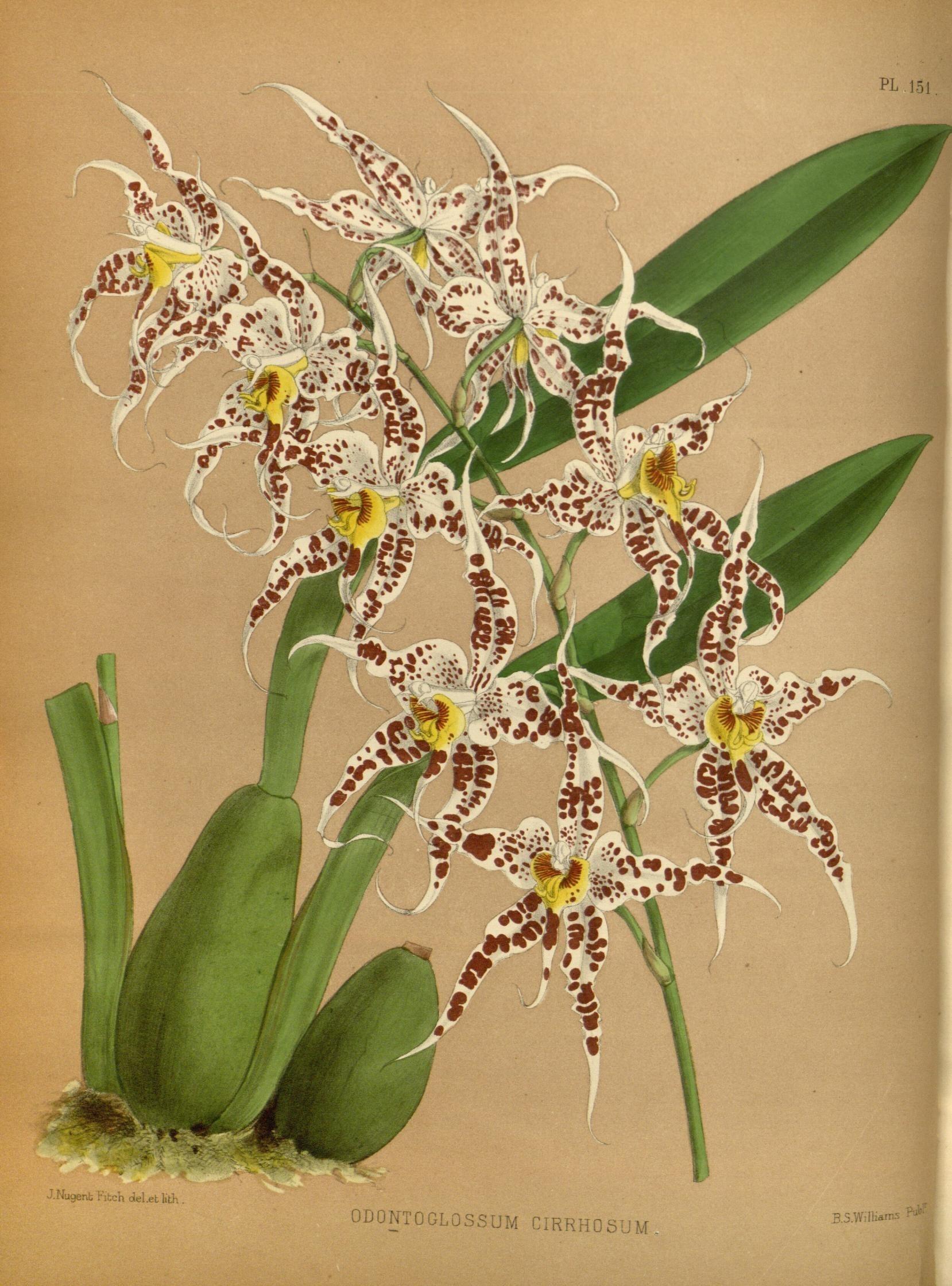 Image of <i>Odontoglossum cirrhosum</i>