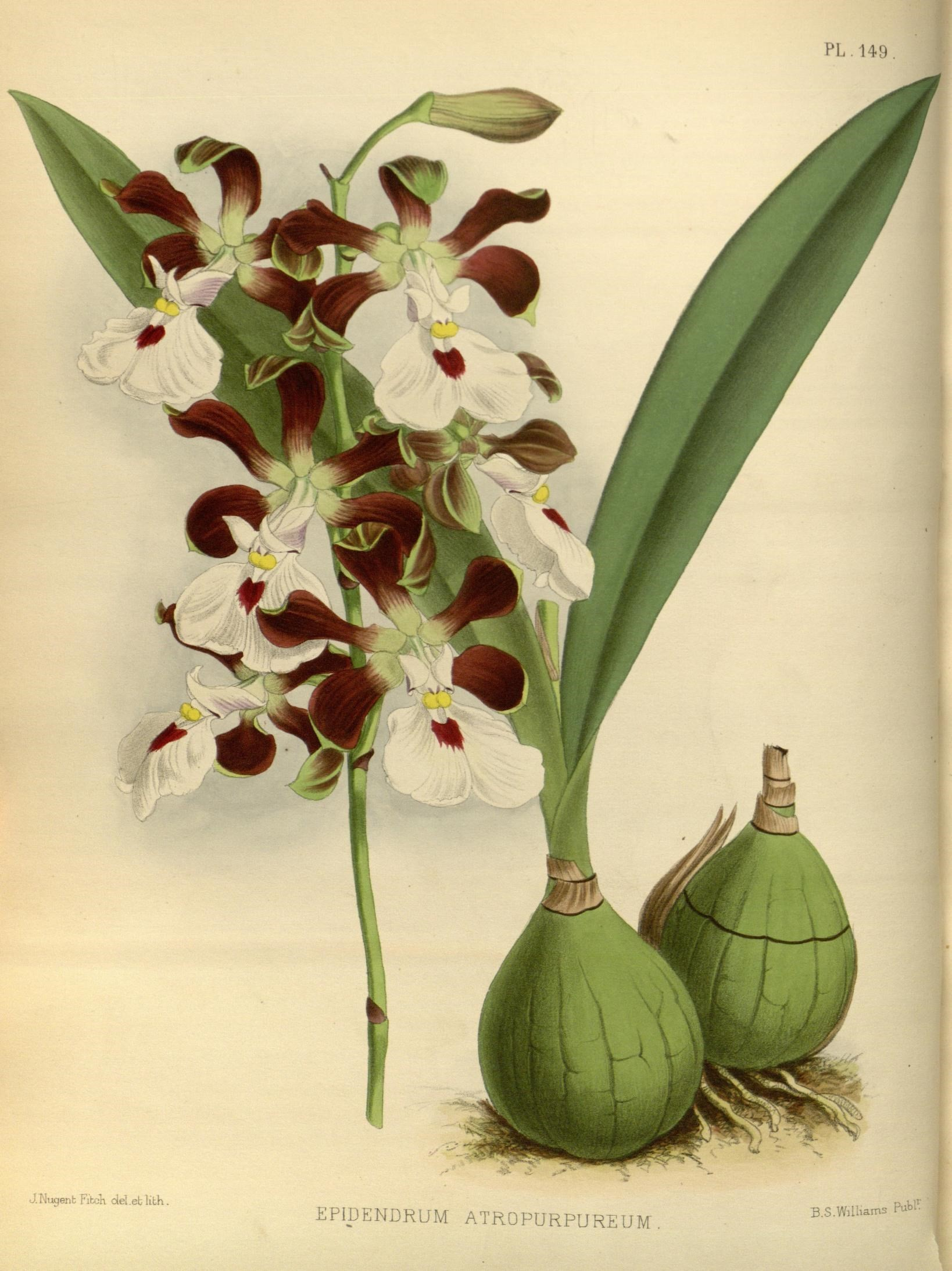Image of Peacock orchid