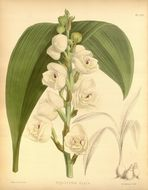 Image of Dove orchid