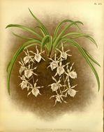 Image of Trichopilia