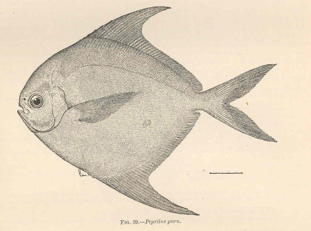 Image of <i>Peprilus paru</i> (Linnaeus 1758)