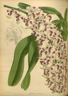 Image of <i>Aerides lawrenceae</i> Rchb. fil.